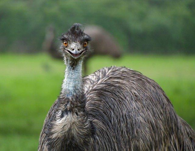 オーストラリアの国鳥:エミュー
