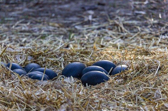 ダチョウのように大きいエミューの卵